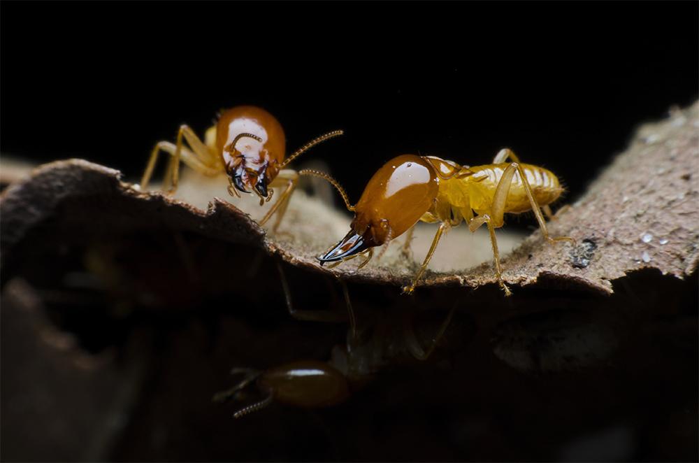 termite1